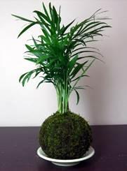 Descripción: R:\Areas\CCultural\CENTRO CULTURAL\FOTOS\FOTOS CCNG\Kokedama\Kokedama plantas ornamentales.JPG